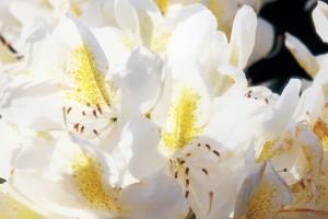 Rhododendron von Baumschulen Gindler