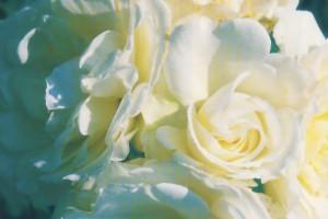 Rosen von Baumschulen Gindler